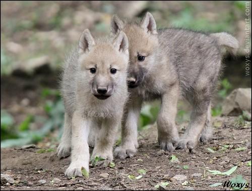 Beautiful White Wolves Blue Eyes