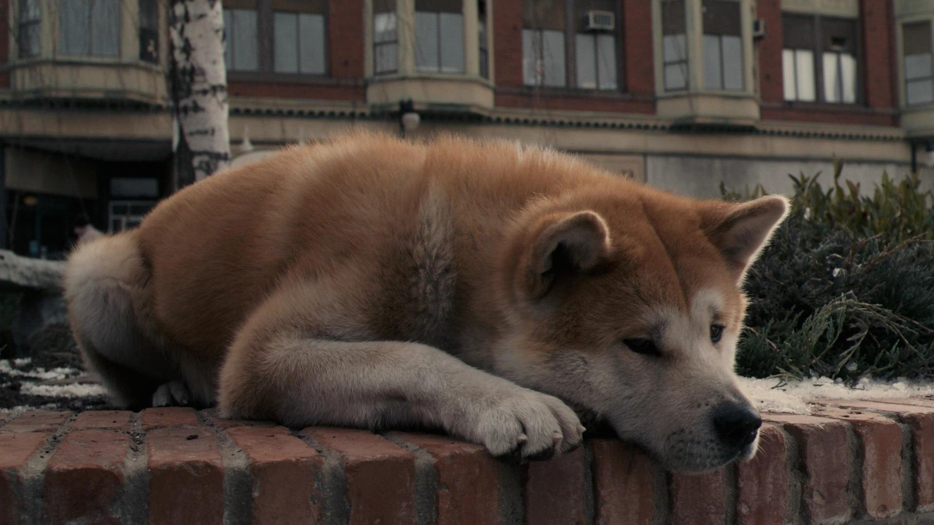 Hachi A Dog S Tale Full Hd Wallpaper And Background Image