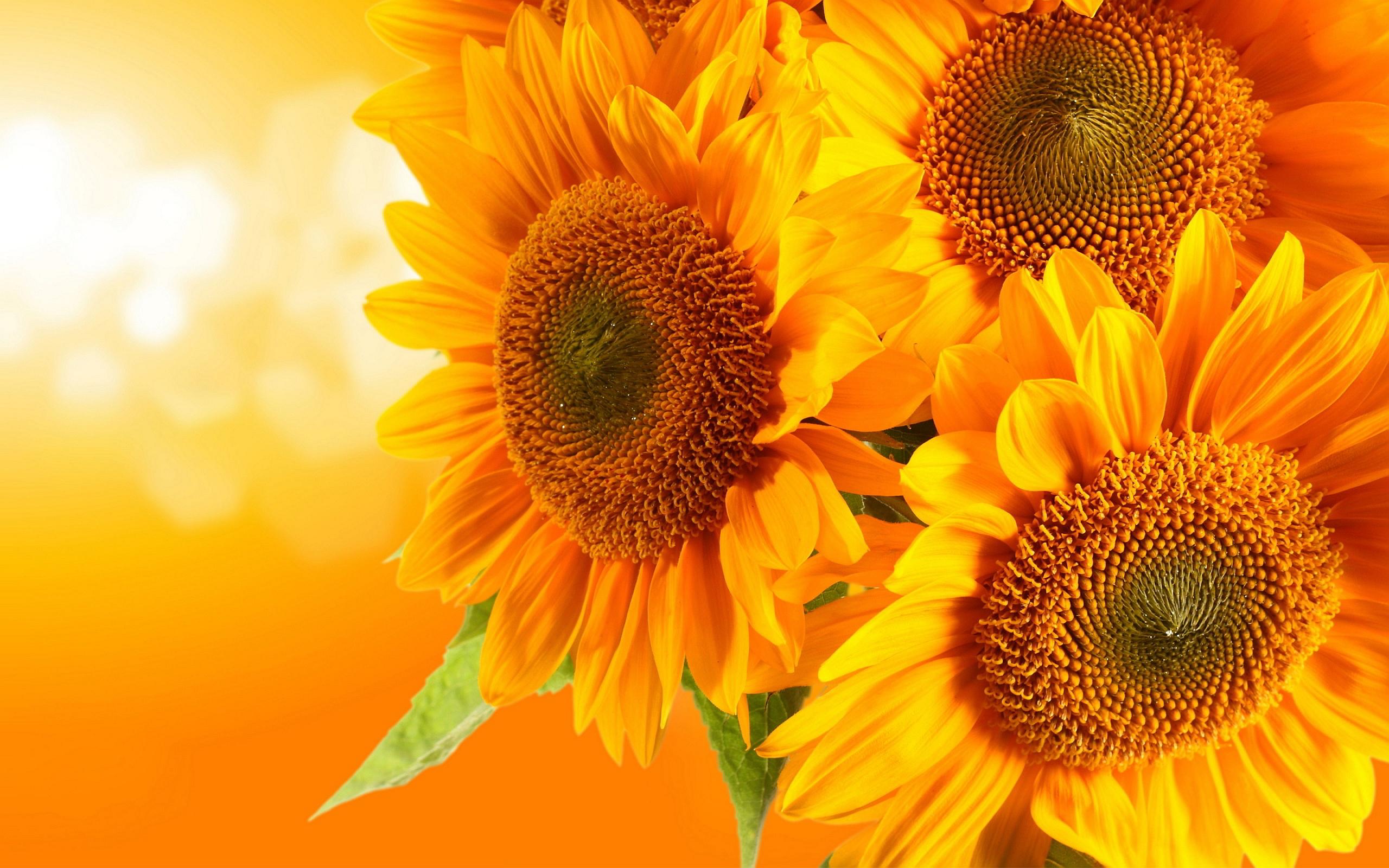 Full Hd Sunflower Wallpaper