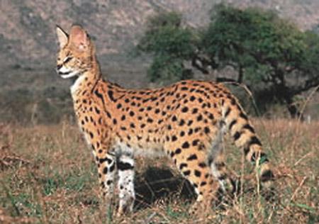 Serval - Servals Photo (33125468) - Fanpop