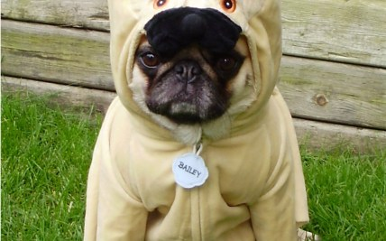 142e8788 funny pugs images Pug Costume HD wallpaper and background photos