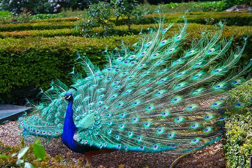 Birds Images Peacock With His Wings All Spread Out