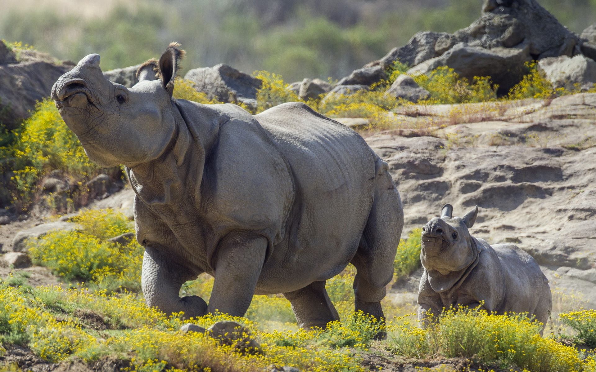 rhino full hd wallpaper and background | 1920x1200 | id:405683