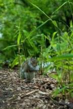 Squirrel, Central Park, NY