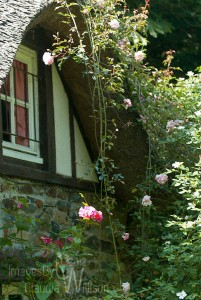 cottage roses Normandy France