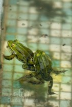 frog, pool