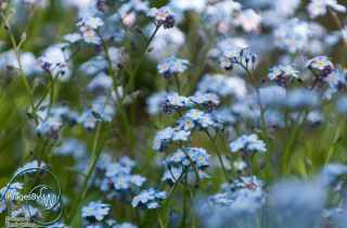field, forget-me-not
