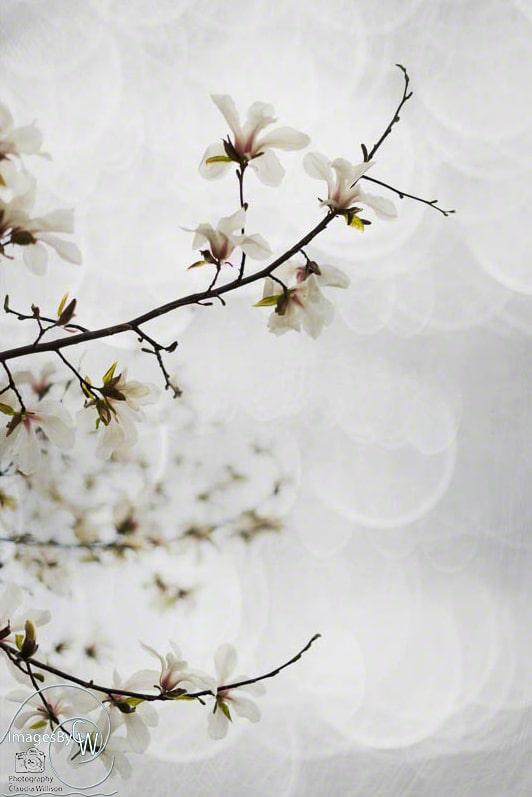 magnolia, blossom, spring, white, bokey