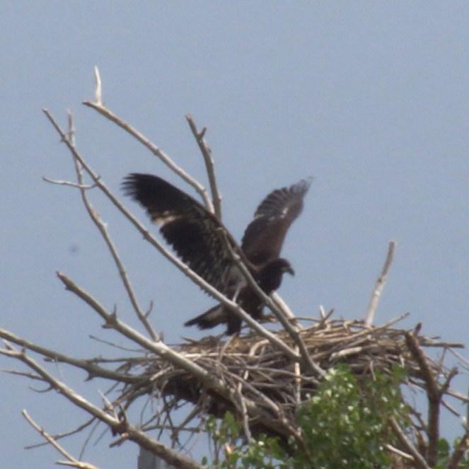 _DSC3252-Eaglet-Wings
