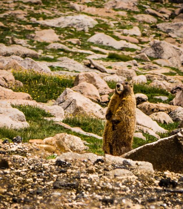 Mt Evans Marmot-8772