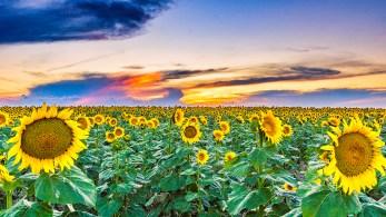 Sunflower Sunset_DSC8750-Edit