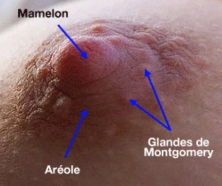 Image result for seins grossesse