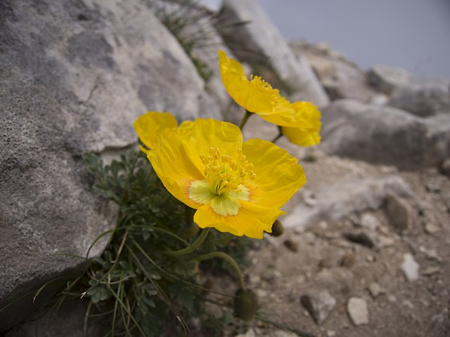 Пирински мак / Pirin Papaver Photo credit: Иван Коев