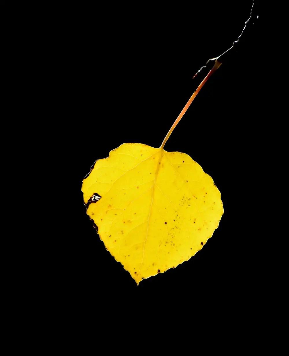 Backlit Aspen Leaf. Nederland, Colorado. Copyright: Greg Joder