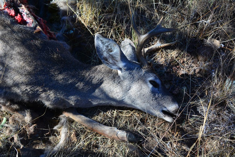 Dead white-tailed deer buck.  Copyright:  Greg Joder.