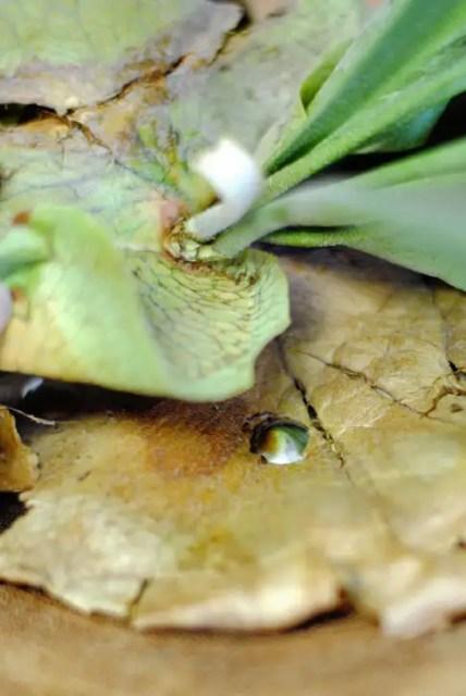 Replanting Staghorn fern
