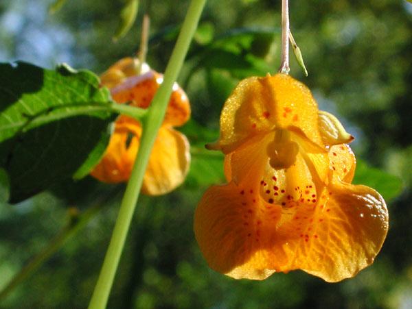 this is jewelweed