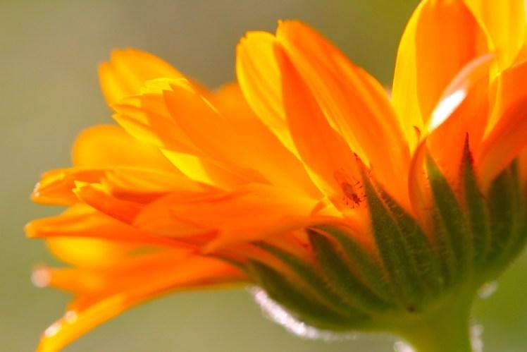 calendula-officinalis-herb