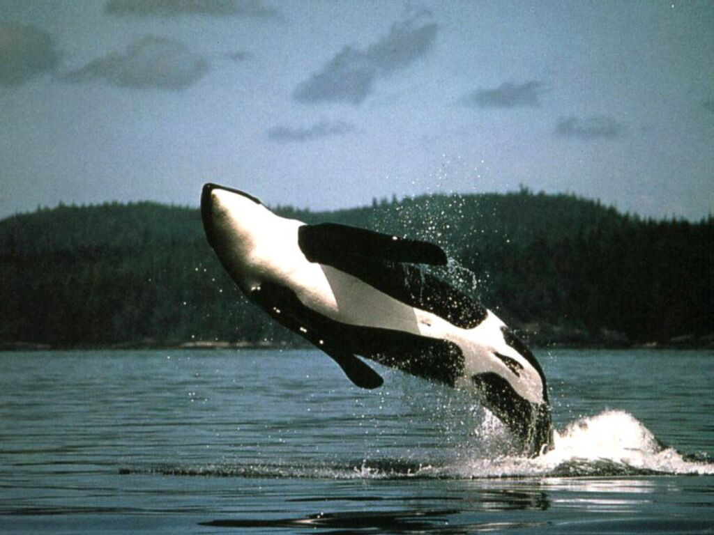 Les orques - Dessin d orque ...