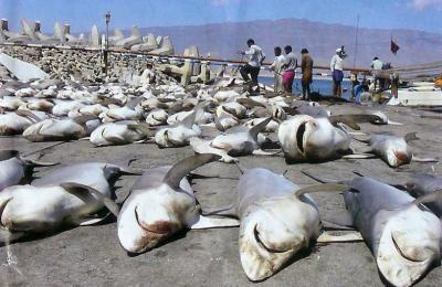 massacre de requins