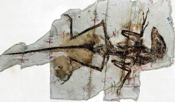 Fossile de Sinornithosaurus, dinosaure à plumes (1999).