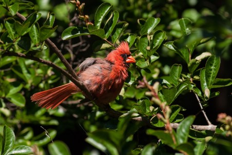 Northern Cardinal, Franklin Street