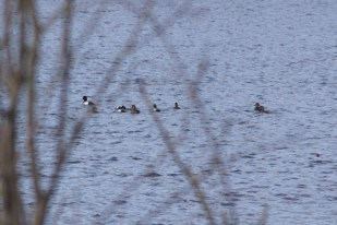 Scaups-Whether they are greater or lesser scaups, I cannot say. They kept swimming away from me.