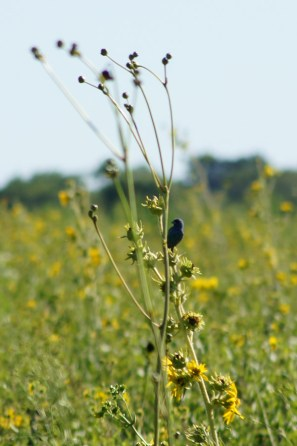 An indigo bunting sitting on a compass plant