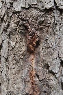 A scar on a tree trunk