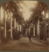 Avenue_of_Royal_Palms,_Queen's_Hospital_grounds-Underwood&Underwood-1900