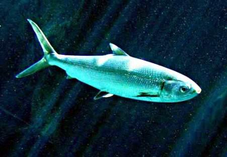 Awa Milkfish