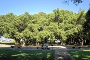 Lāhainā Banyan Tree