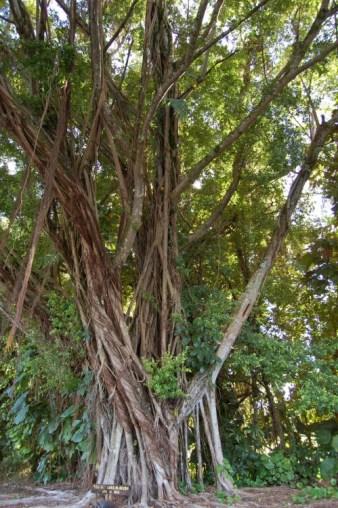 Banyan Drive Tree-Richard_Nixon