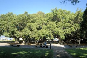 Banyan Tree located in courthouse square in the center of Lahaina