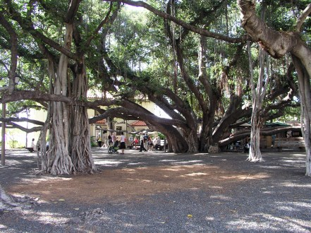 Banyan-Tree-Lahaina