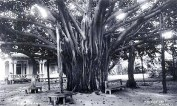 Banyan_tree_at_Ainahau