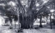Banyan_tree_at_Ainahau
