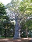 Baobab Tree, Adansonia digitata