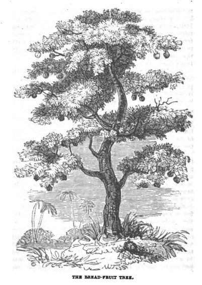 Breadfruit-(BookOfTrees)-1837
