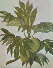 Breadfruit_drawing-18th_century