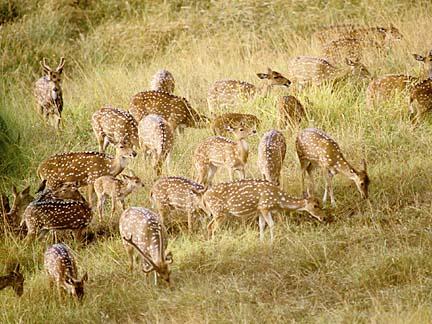 Deer on Molokai - Lanai