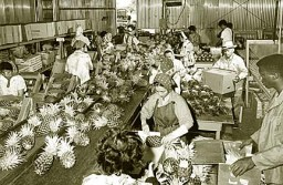 19640816 - Fresh pineapple is sorted and packed at Dole's packing shed. SB BW photo by Photo Hawaii.