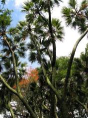 Doum Palm, Hyphaene thebaica