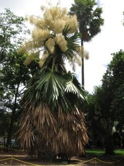 Flowering_Talipot_Palm
