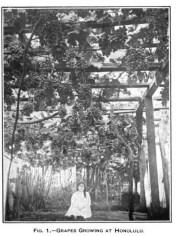 Grapes in Honolulu