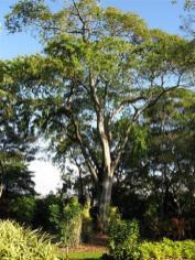 Guama Tree, Lonchocarpus domingensis