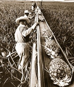 Harvesting pineapples in Hawaii-(star-bulletin)-1960s