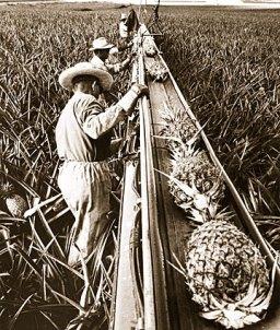 Harvesting pineapples in Hawaii-(star-bulletin)-1960s
