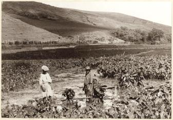 Hawaiians_in_the_field,_photograph_by_Frederick_George_Eyton-Walker,_c._1890