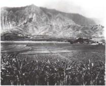 Heeia Taro - 1930